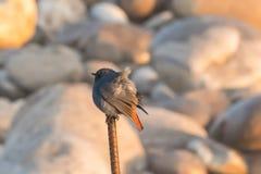 Himalayan Robin orange tailed stock photos