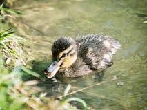 € «â€ утенка кряквы platyrhynchos Anas «в воде, красоте Стоковые Фото