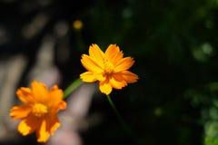 †‹橙色加利福尼亚鸦片花 库存照片