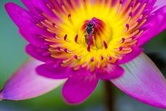 """€ cercano """"encima del lirio de agua rosado con la abeja en la charca Foto de archivo"""