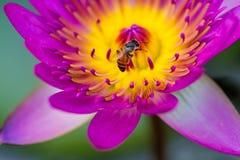 """€ cercano """"encima del lirio de agua rosado con la abeja en la charca Fotografía de archivo libre de regalías"""