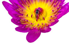 """€ cercano """"encima del lirio de agua rosado con la abeja en la charca en el fondo blanco Foto de archivo libre de regalías"""