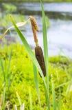 """€ del Cattail"""" un'erba alta della palude (tifa) Fotografia Stock Libera da Diritti"""