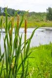 """€ del Cattail"""" un'erba alta della palude (tifa) Fotografia Stock"""