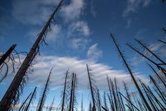 """€ des verheerenden Feuers """"brannte Baumstämme im Wald in USA mit blauem Himmel Lizenzfreies Stockfoto"""