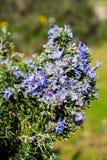 spring bloom ветвей розмаринового масла цветя полностью Стоковые Фото