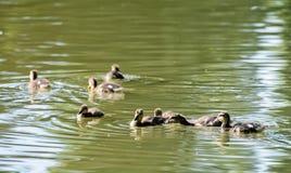 Группа в составе маленькое †«â€ утят кряквы platyrhynchos Anas «внутри Стоковые Изображения RF