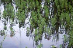 στενός επάνω του aquaticum Myriophyllum Στοκ εικόνες με δικαίωμα ελεύθερης χρήσης