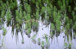 στενός επάνω του aquaticum Myriophyllum Στοκ Εικόνες