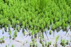 στενός επάνω του aquaticum Myriophyllum Στοκ Εικόνα
