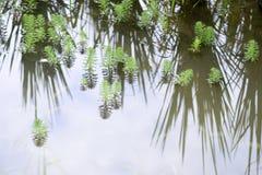 στενός επάνω του aquaticum Myriophyllum Στοκ Φωτογραφίες