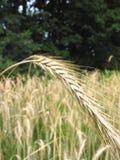 1 озимой пшеницы Стоковое Фото