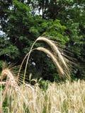 3 del trigo de invierno Fotos de archivo