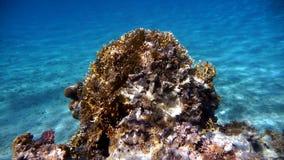 Коралловый риф морского †среды обитания « Красное Море, Египет Стоковое фото RF