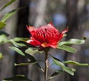 Flor de Waratah (Telopea) Fotos de archivo libres de regalías
