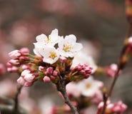 Kirschblüte Kirschblüte im Frühjahr Schöne rosa Blumen Stockbilder