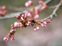 Kirschblüte Kirschblüte im Frühjahr Schöne rosa Blumen Lizenzfreie Stockfotografie