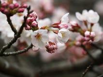 Kirschblüte Kirschblüte im Frühjahr Schöne rosa Blumen Lizenzfreie Stockfotos