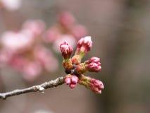 Kirschblüte Kirschblüte im Frühjahr Schöne rosa Blumen Stockfoto