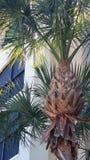 ¤ palmträd ¤ Arkivbild