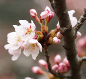 Sakura Flor de cerezo en primavera Flores rosadas hermosas Fotos de archivo libres de regalías