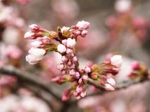 Sakura Kersenbloesem in de lente Mooie roze bloemen Stock Afbeeldingen