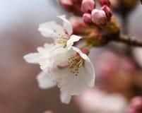 Sakura Kersenbloesem in de lente Mooie roze bloemen Stock Foto