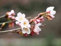 Sakura Kersenbloesem in de lente Mooie roze bloemen Stock Foto's