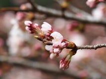 Sakura Kersenbloesem in de lente Mooie roze bloemen Stock Afbeelding