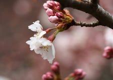 Sakura Kersenbloesem in de lente Mooie roze bloemen Royalty-vrije Stock Fotografie