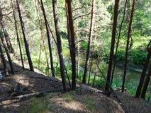 Sosnowy las w lecie Obraz Stock