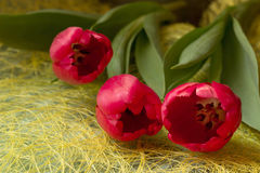 three red tulips. On a yellow background Royalty Free Stock Photos