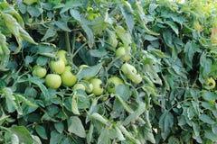 vert 2 de tomates Images libres de droits