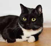 Âge de chat noir 3 ans Images libres de droits