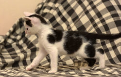 Âge de chaton un mois Images stock