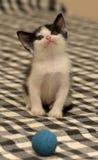 Âge de chaton un mois jouant la boule Photographie stock libre de droits