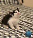 Âge de chaton un mois jouant la boule Photos stock