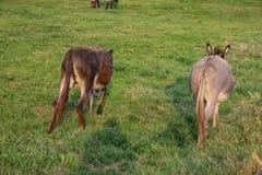 âne brun au pré images libres de droits