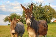 âne brun au pré photographie stock