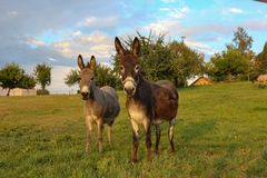 âne brun au pré photos stock