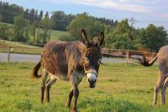 âne brun au pré images stock