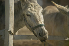 Âne dans l'élevage Images libres de droits