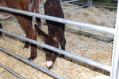 Âne dans la ferme mangeant la paille Photo libre de droits