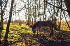 Âne dans la forêt Image libre de droits