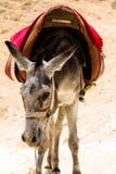 Âne dans le désert de Judean Photos libres de droits