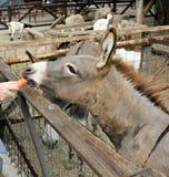 Âne de alimentation à la ferme (zoo) photographie stock libre de droits