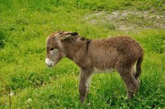 Âne de chiot Photos stock