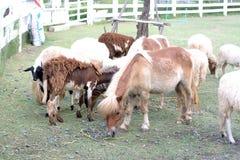 Âne et moutons Images stock