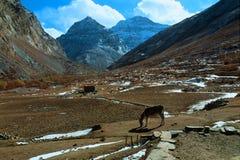 Âne frôlant dans les montagnes photographie stock libre de droits