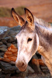 Âne gris Image stock